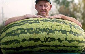 Huge Watermelon Seeds