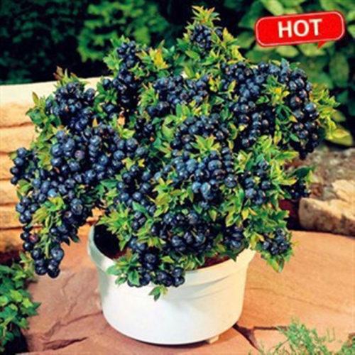 Blueberry Seeds Non-Gmo