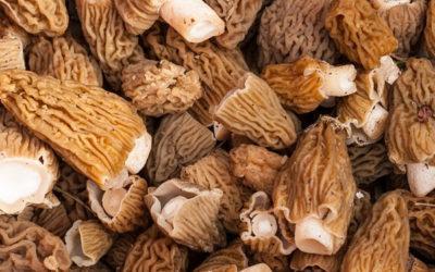 Understanding Morel Mushrooms