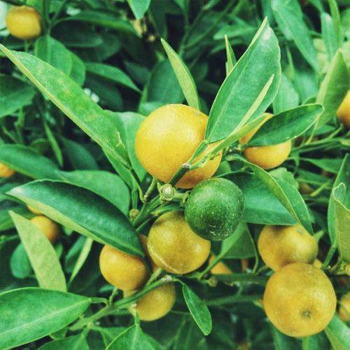 Lemon Tree Seeds